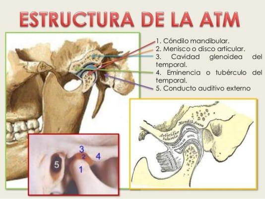 Anatomía de la articulación temporo-mandibular